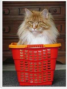 Oscar -- teenage Maine Coon from RHC/RCKC's of Flickr