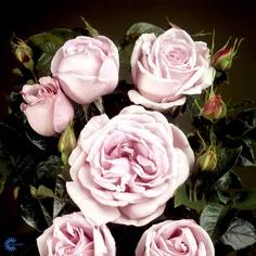 Bering Renaissance roser (Bering Renaissance roses)