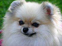 Pomerania - hembra - maquila - blanca