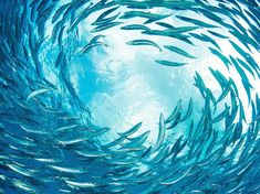 Picture of a swirling school of sardines, Thousand Steps Reef, Bonaire (National Geographic)