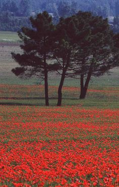 Campo di papaveri in Alta maremma. | Flickr - Photo Sharing! Remember those who lost their lives and limbs for us to live
