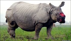 Africa's Western Black Rhino is now officially extinct. Click for article.  :-(