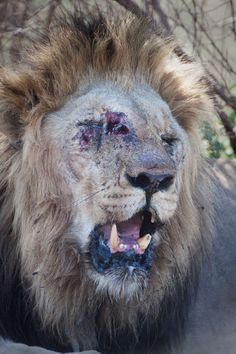 A lion is injured while fighting for his pride