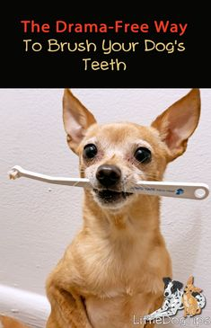 Learn how to brush a Chihuahua or small dog's teeth with these easy steps - brush ANY dog's teeth even if they hate having their teeth brushed. Dog Care Tips, Pet Care, Puppy Care, Dental Health, Pet Health, Dental Care, Health Tips, Dog Teeth, Yoga Photography