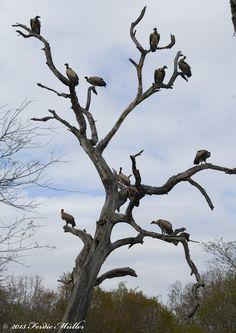 Vultures in a tree by Ferdie Muller