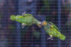 Love in prison! by Aziz Nasuti on Prison, Parrot, Animals, Parrot Bird, Animales, Animaux, Animal, Animais, Parrots