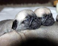 """It's another #Sunday morning for us."" ・・・⠀ www.jointhepugs.com/⠀ ・・・⠀ #pug #pugpower #dogs #pugsnotdrugs #pugpuppy #puglove #cuteness #pugs #puglover #pugnation #dogstagram #dogsofinstagram #puppyeyes #pugstagram #pugworld #pugplanet #dogsofinstaworld #petstagram #instadog #instapug #babypug #pugsofig #pugsforever #pugoftheday #dogsofig"