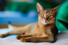 abyssinian cat | Abyssinian Cat Information and Wallpapers