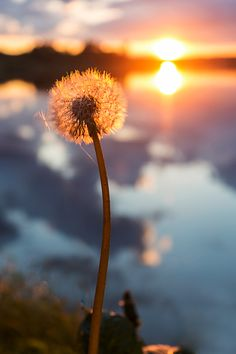 Sunset Dandelion - null