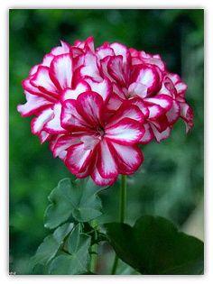 Candy cane geranium. Polkagris pelargon