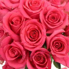 Shocking Versilia Hot Pink Rose - 125 Long Stemmed Roses