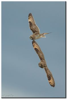 Short Eared Owls by Conrad Tan, via 500px
