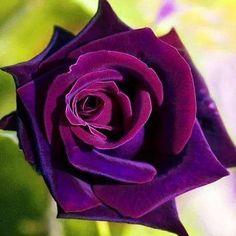 Bridal Veils, Rare Flowers, My Secret Garden, Flower Backgrounds, Purple Roses, Botanical Illustration, Rose Buds, Beautiful Roses, Bibs