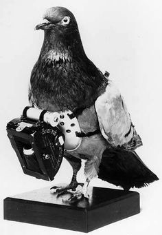 Yes, pigeons photographers have really existed and it was used for aerial photography! The principle was invented by Julius Neubronner in 1907 and the method was used during the war before being abandoned and then reused for espionage … Racing Pigeon Lofts, Homing Pigeons, Dove Pigeon, Number The Stars, Photos, Pictures, World War Two, Beautiful Birds, Bald Eagle