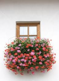 Geranium = comfort Flower Meanings, Window Boxes, Shades Of Red, Geraniums, Red And Pink, Floral Wreath, Herbs, Wreaths, Plant
