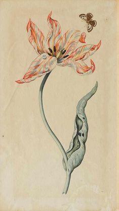 HOLLAND, 17. JAHRHUNDERT  Folge von drei Tulpendarstellungen: 1. Rotweissgelbe Tulpe mit Schmetterling 2. Blauweisse Tulpe 3. Rotweisse Tulpe Aquarelle auf Bütten.