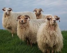 beautiful sheep posed for their portrait