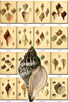 SHELLS-19 Collection of 199 vintage images scrap pearl