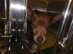 A1641431 - URGENT - located at CITY OF LOS ANGELES SOUTH LA ANIMAL SHELTER in Los Angeles, CA - Adult Neutered Male Chihuahua