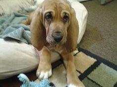 Maggie the bloodhound puppy