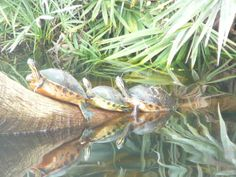turtles on a log.  Almost every time I go to Green Cay, I see turtles on this log