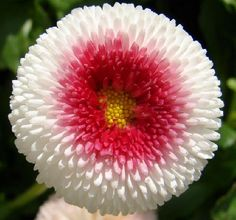 Strawberry & Cream English Daisy