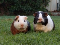 Meet Crumbs and Odie the guinea pigs