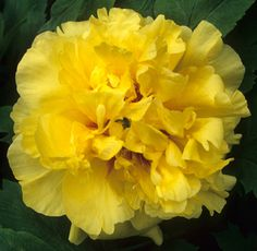 TREE PEONY 'ALICE IN WONDERLAND'