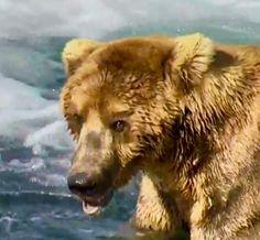 Bear - Katmai