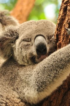 Australia is an animal lovers paradise, from kangaroos to crocodiles, a large proportion of them can't be viewed anywhere else in the world. Perhaps on of the most amazing is the tree kangaroo (not pictured) find out more below. #Australia