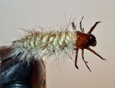 FlyTyingForum.com - Caddis Larva
