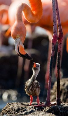 A flamingo mom feeding her baby chick. The flamingo chick is not pink yet because flamingos get their color from the large amount of shrimp they eat.