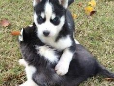 GORGEOUS AND ADORABLE COMPANION HUSKY FOR for sale in Croydon For Sale