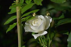 Schneewitzen – ruusu   Vesan viherpiperryskuvat – puutarha kukkii