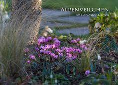Winter in our garden - Cyclamen coum - Alpenveilchen