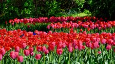 """See 1697 photos from 12662 visitors about parks in vienna, fresh air, and monuments. """"Shady park with nice paths and a lake with swans and ducks. Spring Garden, Playground, Tulips, Vienna Austria, Plants, Kids, Beautiful, Gardens, Beauty"""