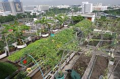 Urban Farming Around the World; an organic rooftop herb and vegetable garden atop a high-rise building in Lak Si District Bangkock Thaiiland