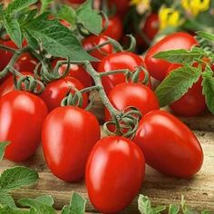 Learn how to grow roma tomatoes. Growing roma tomatoes is similar to growing other tomato varieties. It is suitable for cooking and canning, you can also grow roma tomatoes in pots.