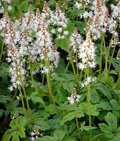 Beyond Hostas: 10 Great Plants for Shady Gardens-tiarella Hostas For Shade, Shade Perennials, Shade Plants, Shade Garden, Garden Plants, Backyard Shade, Woodland Garden, Heuchera, Just Dream