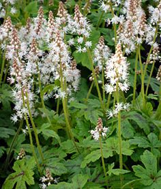 "10 Great Plants for Shady Gardens. Tiarella cordifolia (Foamflower), shown here, has matte rather than shiny leaves, which gives it a slightly more ""natural"" look. The bottle-brush flowers are white or pale pink. New varieties often feature burgundy-red leaf veins. Click through to find 9 other plants that will do well in a shady garden."