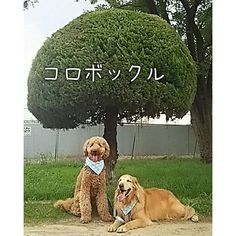 【pyonko_77】さんのInstagramをピンしています。 《#ゴールデンレトリバー #ゴールデンドゥードル #愛犬#大型犬#犬バカ部 #ありがとう#いいね👍 #森#さんぽ#あさんぽ #goldenretriever#風太 #goldendoodle#翔太 #dogs_of_instagram #fun#dogsofinstagram #retriever#doodle#happy #instagramdogs  #doglover  #webspets#life#cute#happy🐶🐾🐩 ☔☁おはよー🐩🎵🐶💕 雨の日曜日、 今日も、楽しく~🎶》