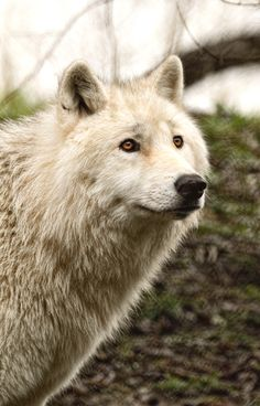 Arctic Wolf- game of thrones has given me a new love for wolves