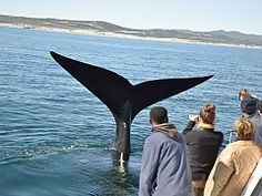 View a list of our whale watching operators in Hermanus, South Africa - Dirty Boots Whale Watching Boat, Close Encounters, Gentle Giant, Dolphins, Kayaking, Trips, Coastal, Africa, Activities