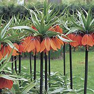 "Fritillaria imperialis ""Crown Imperial"" Full Sun / Plant hallow bulbs on side and surrounded with sharp sand. Blooms in Spring"