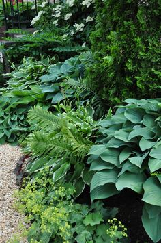 Ostrich ferns, Heuchera (deep burgundy leaves peaking out from under a Hosta) and Pulmonaria (the spotted leaf tucked under one of the Hosta). All these plants are great options for part-shade and shade