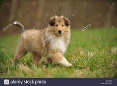 longhaired-collie-puppy-ERJ2MH.jpg (1300×955)