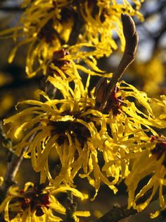 Depending on the species, witch hazels produce their spidery blooms anywhere from November to early March. 'Jelena', shown here, typically blooms in late January