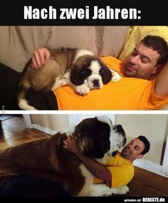funny animal pictures of dogs, funny pictures of girl walking dog, my dog isn't drinking water after switching to raw food, peanut butter flavo Chien Saint Bernard, St Bernard Dogs, Saint Bernard Puppies, Animals And Pets, Baby Animals, Funny Animals, Cute Animals, Cute Puppies, Cute Dogs