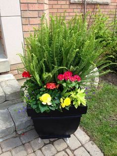 Colourful fern planters: Kimberley Queen ferns with ivy, sweet potato vines, begonias, geraniums, lobelia and dahlias.