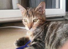 ANA - Gato adoptado - AsoKa el Grande